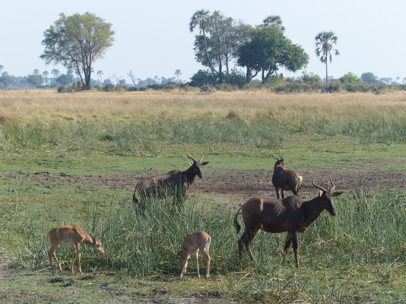 Tsessebes with youngsters