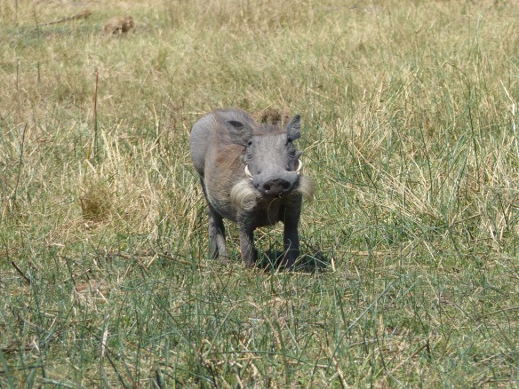 The whiskers on this young warthog are to fool predators into thinking he has big tusks!