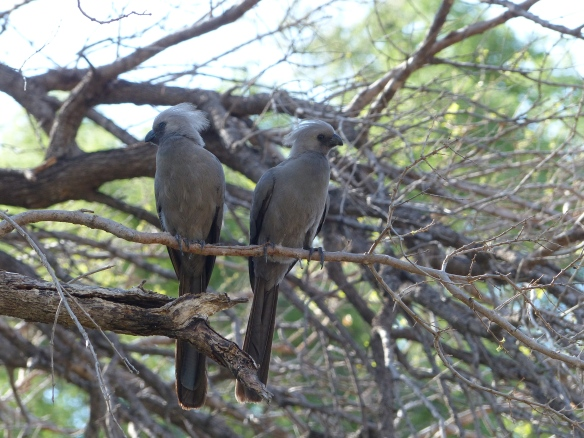 "Grey louries, also called the go away bird because it makes a sound like someone saying ""Go Away!"""