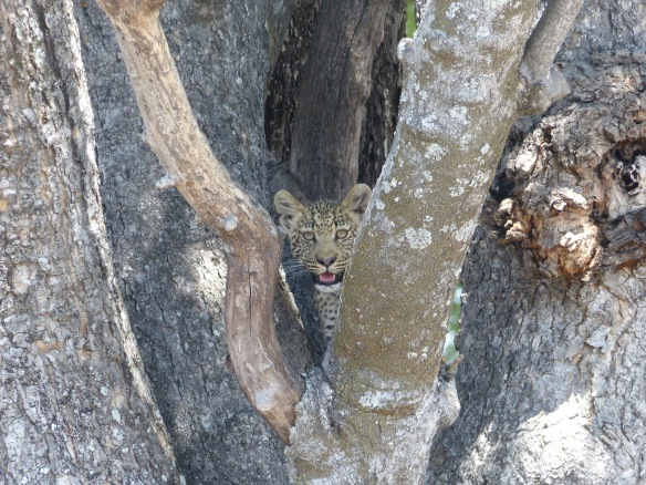 When I first spotted this young guy he was watching us from the crook of a tree.