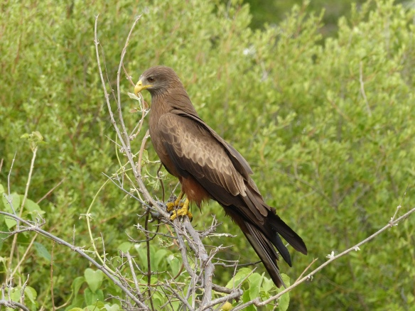 A yellow-billed kite