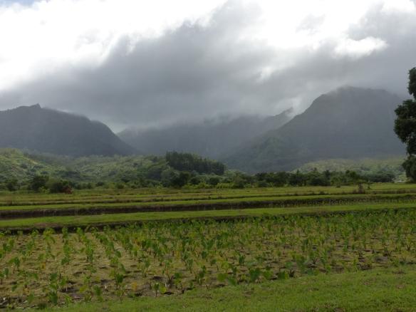 A Taro field