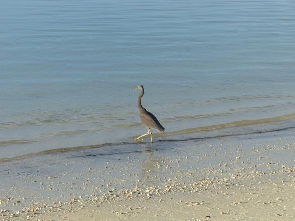 black-egret-1