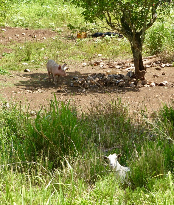 raro-pig-and-goat