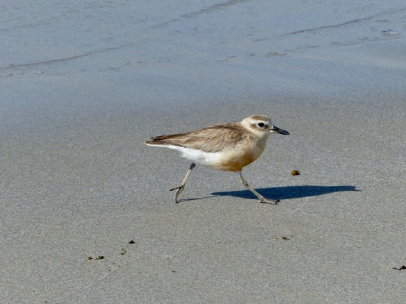 nz-dotterel-1