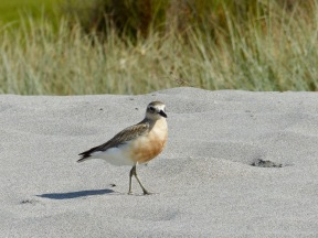 nz-dotterel-3