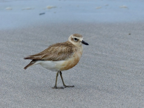 nz-dotterel-5