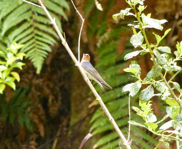 nz-swallow