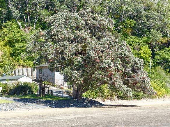 pohutukawa-tree