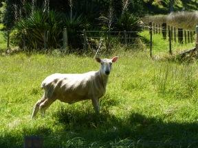 urupukapuka-sheep