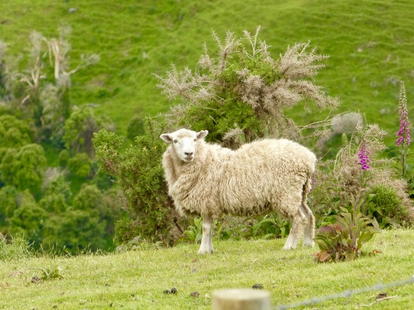 banks-sheep