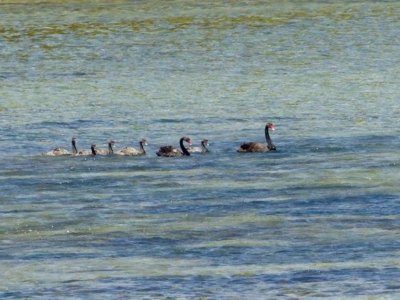 otago-swans