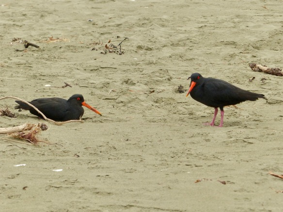 oystercatcher-pair